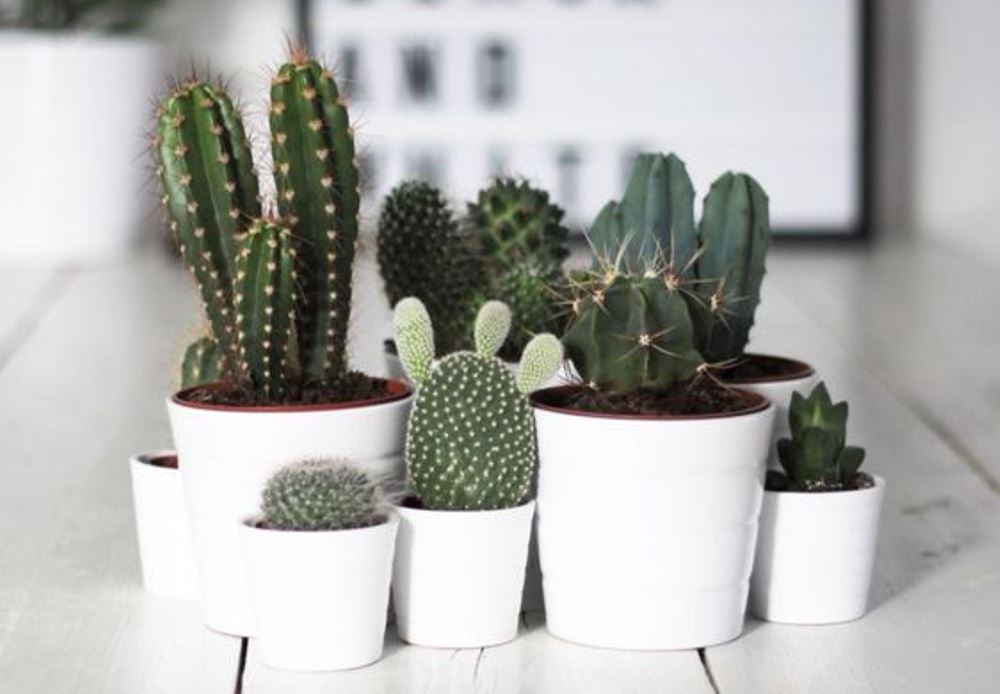 Tendance cactus, photo Pinterest